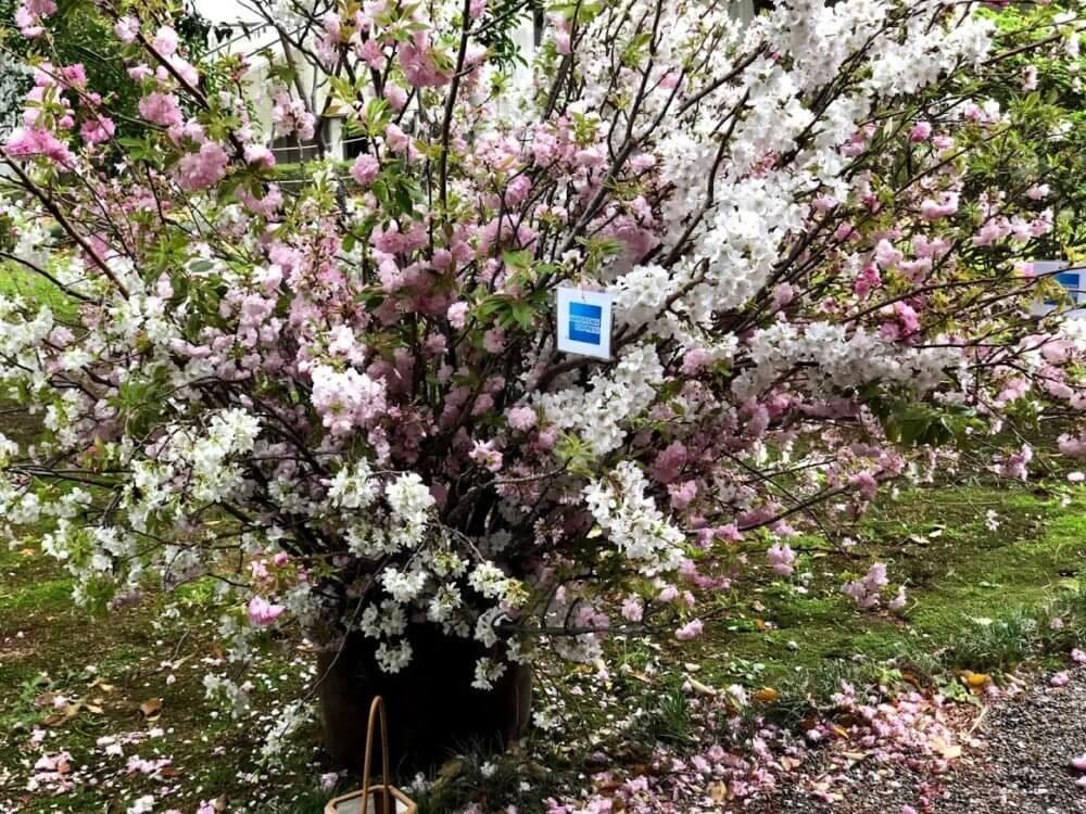 アメックスのイベントの桜